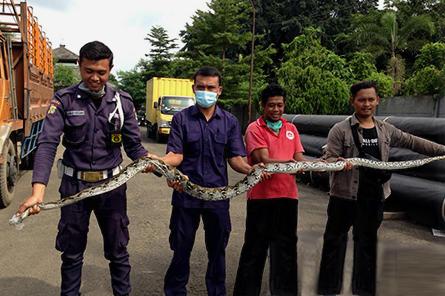 Berita Garda Bhakti Nusantara - Penangkapan Ular di Lokasi Jaga